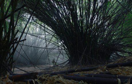 Bosques de bambues